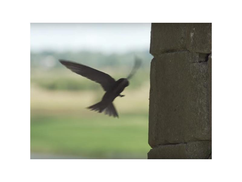 swift-birdwatch-ireland